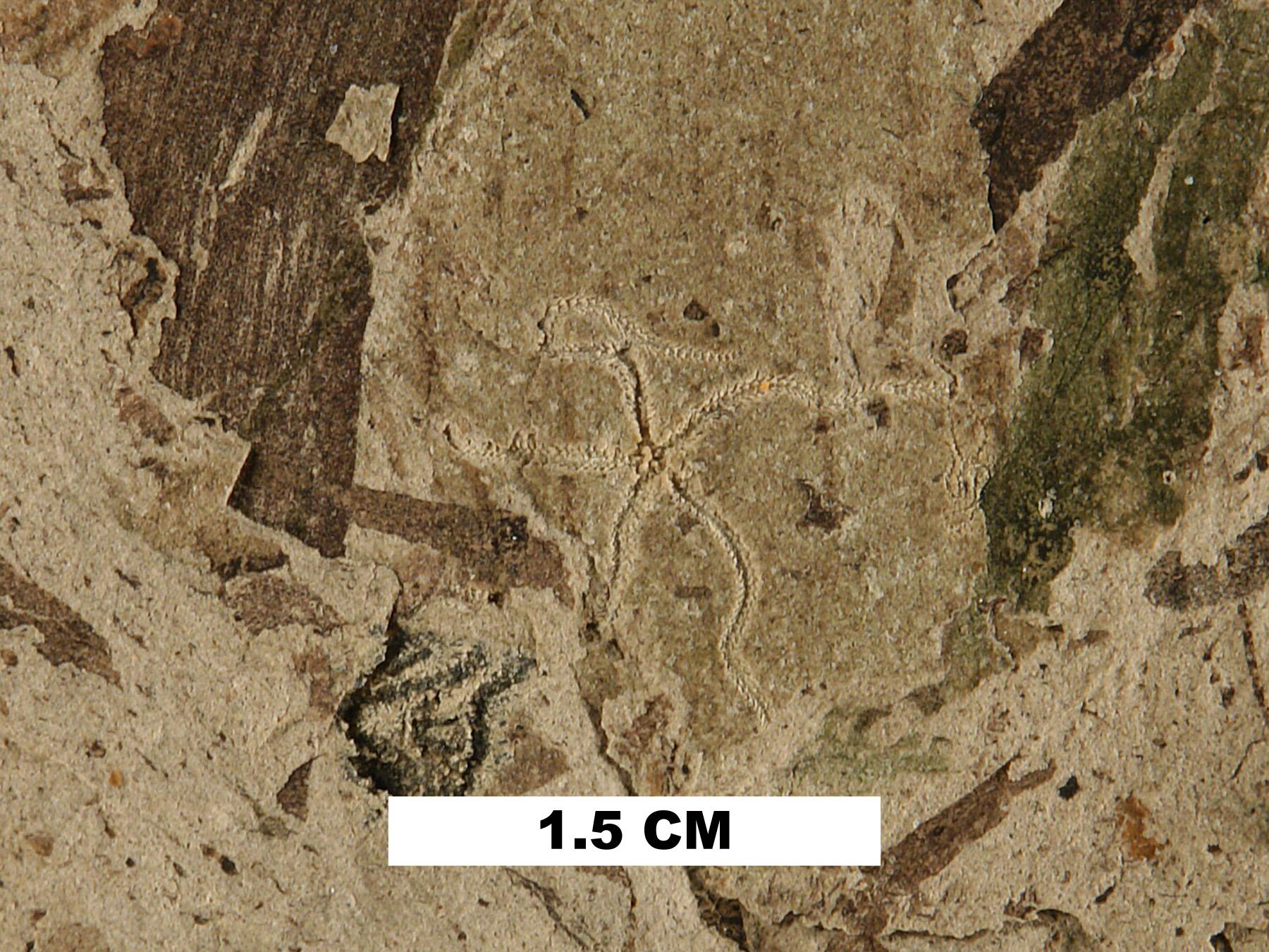 brittlestar